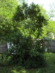 Lilac After Pruning