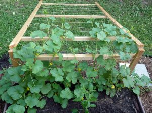 Another view of a trellis system for vining plants