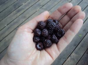 handful of wild raspberries