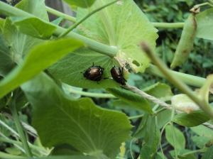 japanese beetles on sugar snap peas