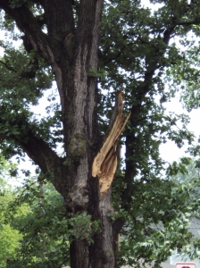 wound on whtie oak from limb coming down during storm