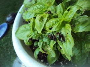 Japanese Beetles on Basil