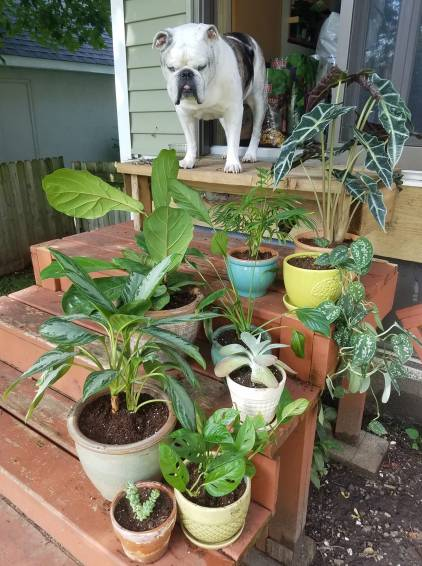 Picture of Chappy the Bulldog looking at all the plants I repotted in August 2018