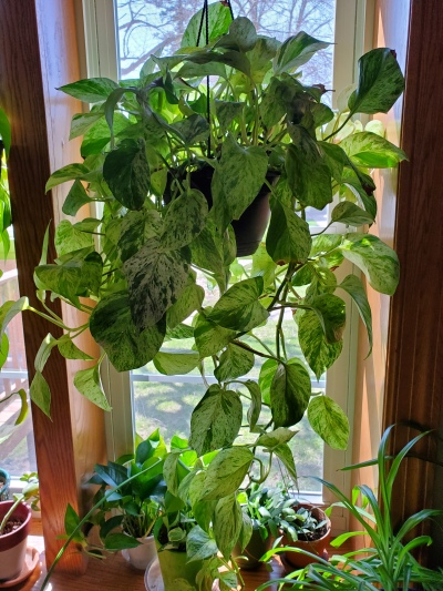 Marble Queen Pothos Full Picture
