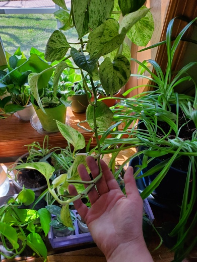 Pothos long runner to be turned into cuttings