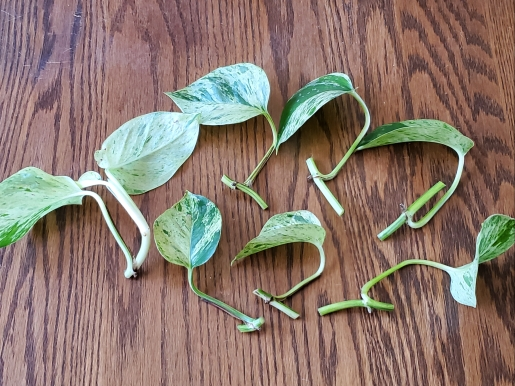 Marble Queen Pothos Cuttings