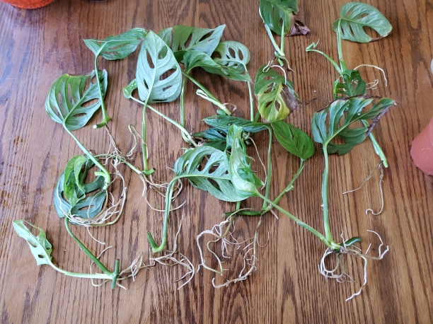 Monstera adansonii rooted cuttings